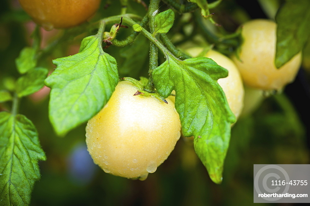 Yellow Tomato (Solanum Lycopersicum) Growing In Georgeson Botanical Garden, Fairbanks, Alaska, United States Of America
