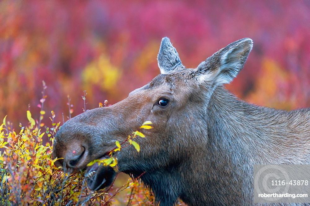 Close Up Of A Moose Cow Eating, Denali, Alaska, United States Of America