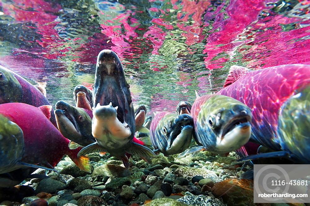 Sockeye Salmon (Oncorhynchus Nerka) Underwater, Paxson, Alaska, United States Of America