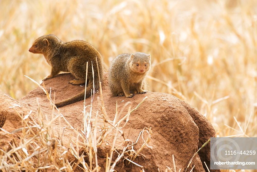 Pair Of Dwarf Mongoose (Helogale Parvula) On Termite Mound, Tarangire National Park, Tanzania