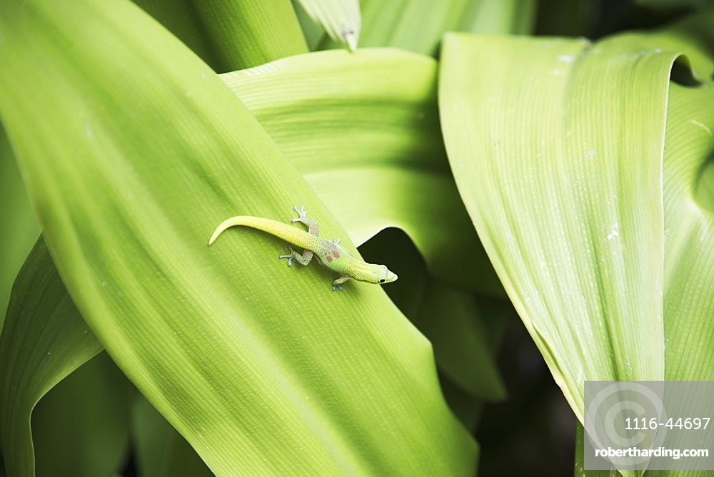 A Beautifully Coloured Gecko Is Almost Camouflaged On A Leaf, Kailua Kona, Island Of Hawaii, Hawaii, United States Of America