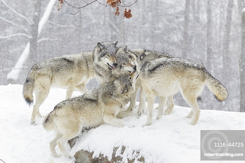 Wolf Pack (Canis Lupus) Having Some Fun Time Together In The Snow, Montebello, Quebec, Canada