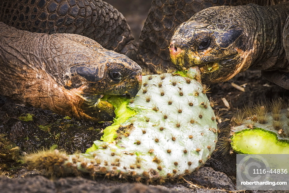 Two Galapagos Giant Tortoises (Geochelone) Biting Cactus Leaves, Galapagos Islands, Ecuador