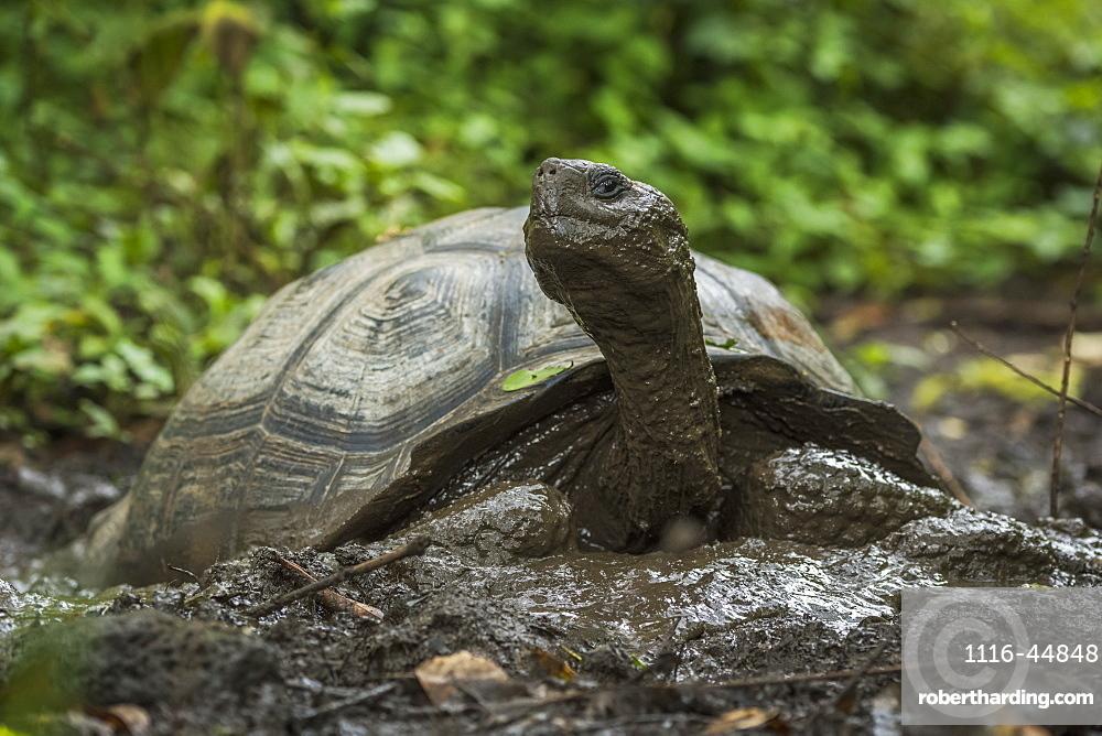 Galapagos Giant Tortoise (Geochelone Nigrita) In Muddy Forest Clearing, Galapagos Islands, Ecuador