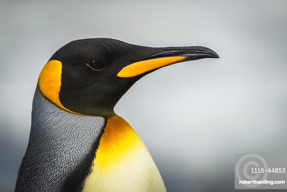 Close Up Of King Penguin (Aptenodytes Patagonicus) With Grey Background, Antarctica