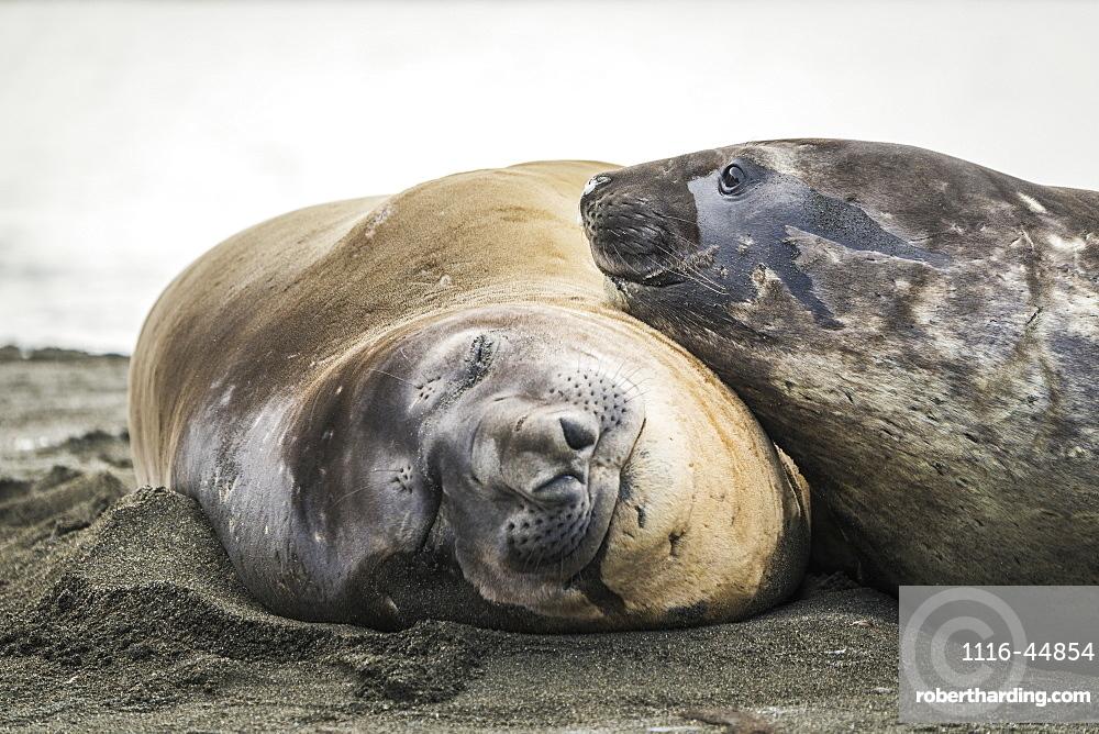 Close Up Of Elephant Seal (Mirounga Leonina) Resting On Another, Antarctica