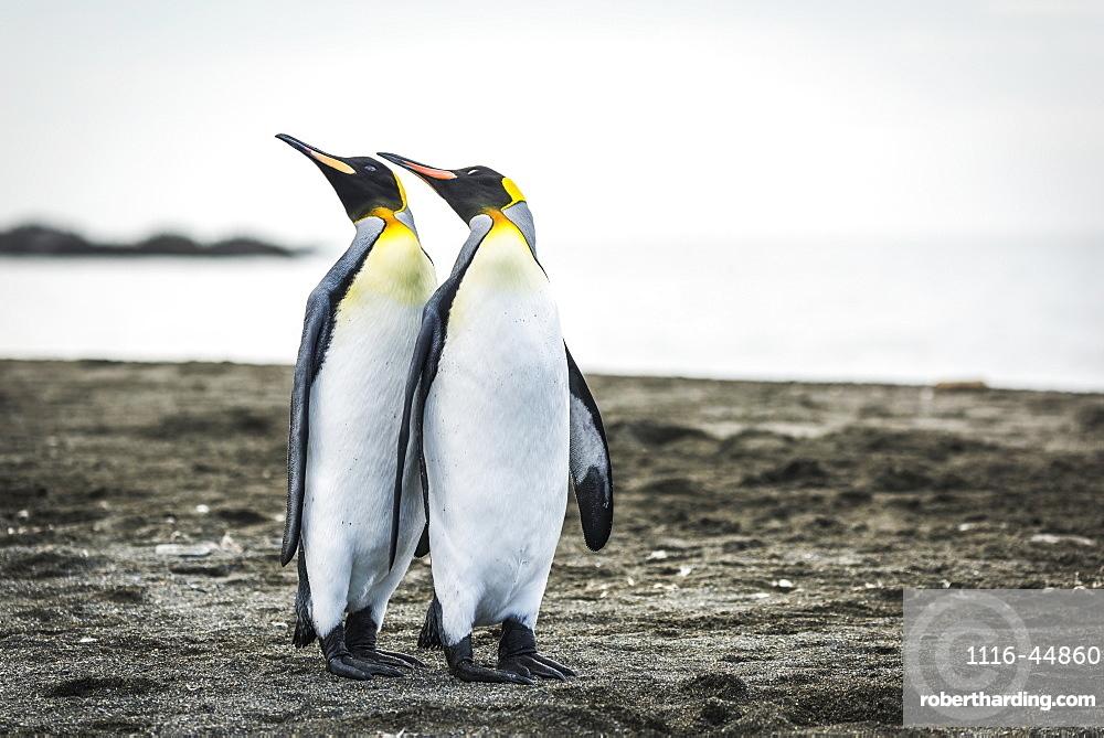 Two King Penguins (Aptenodytes Patagonicus) Mirroring Positions Of Beaks, Antarctica