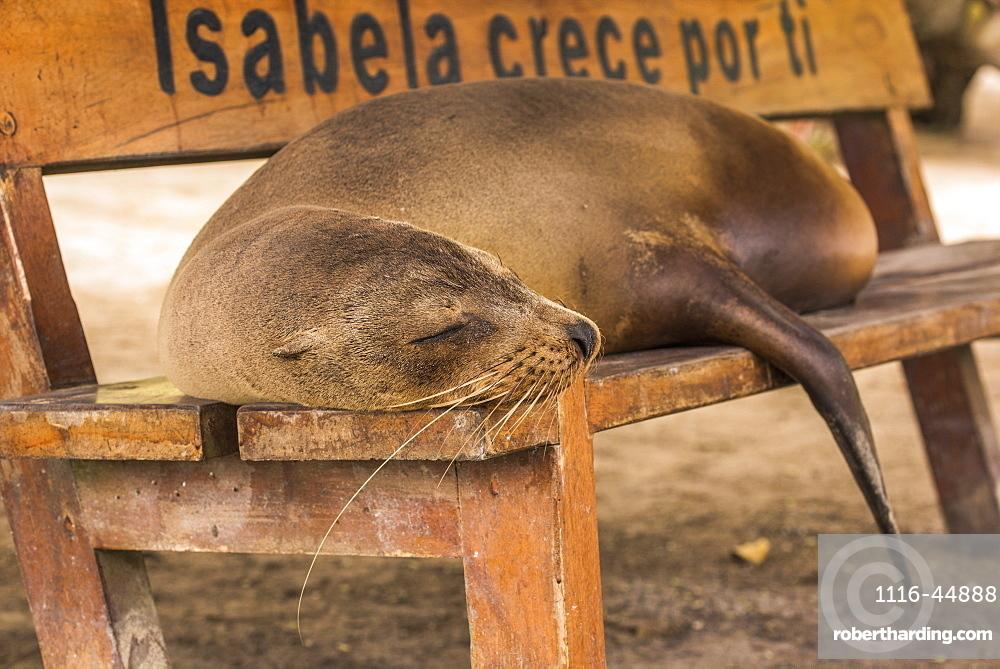 Galapagos Sea Lion (Zalophus Wollebaeki) Asleep On Wooden Bench, Galapagos Islands, Ecuador