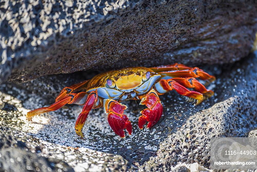 Adult Sally Lightfoot Crab (Grapsus Grapsus) Under Grey Rock, Galapagos Islands, Ecuador