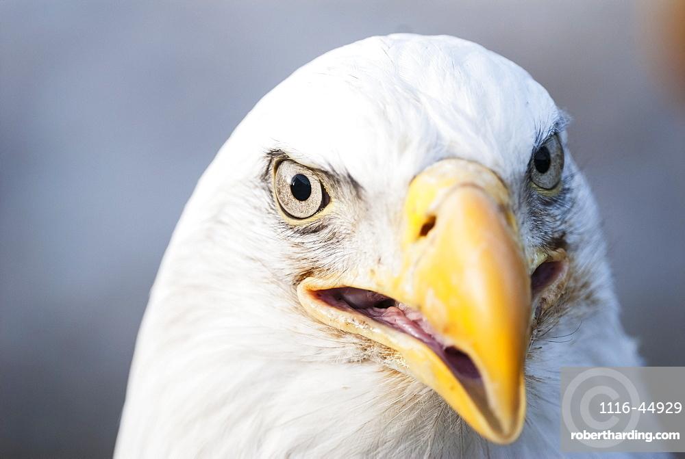 Bald Eagle (Haliaeetus Leucocephalus), United States Of America