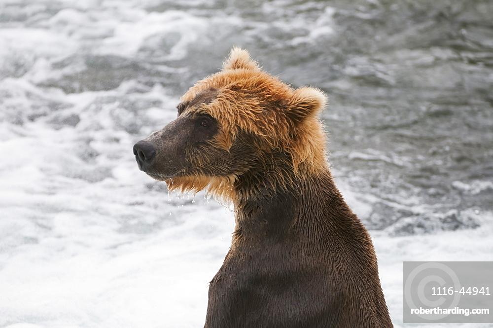 A Young Brown Bear Surveys The Salmon Fishing Competition, Brooks Falls, Katmai National Park, Southwest Alaska