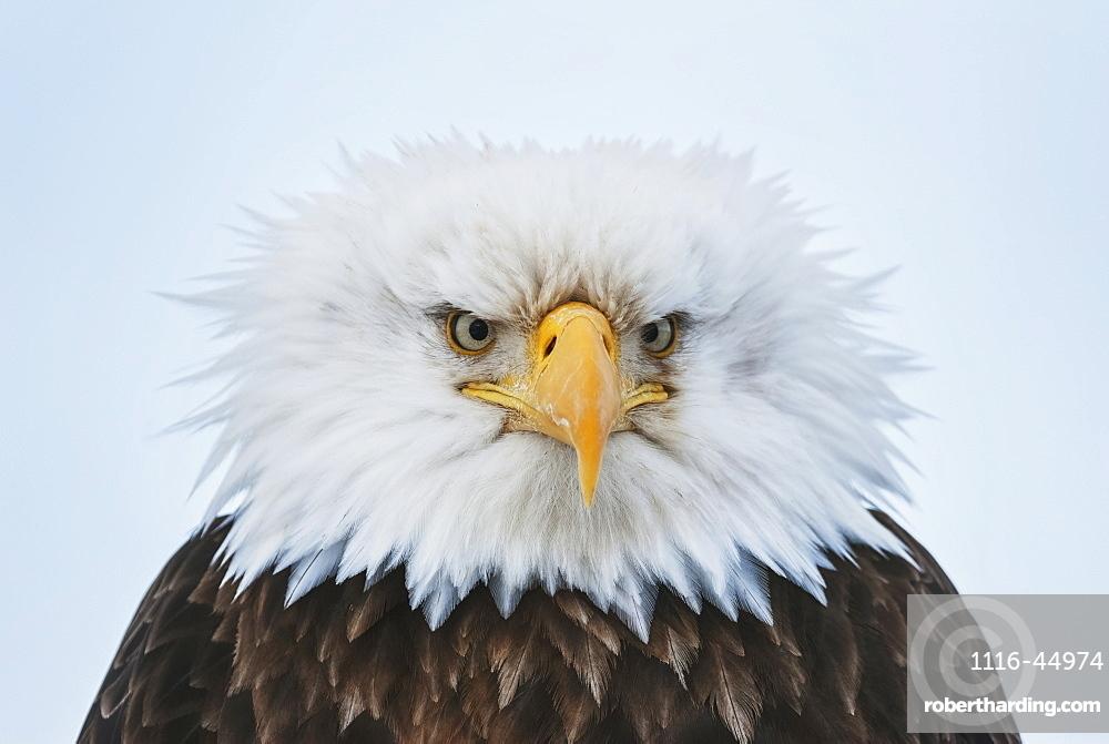 Portrait Of A Bald Eagle Puffed Up At 25 Degrees Below Zero, Homer, Kenai Peninsula, Southcentral Alaska