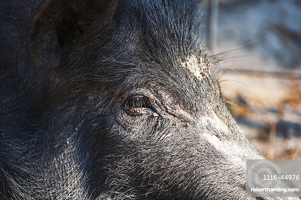 Close Up Of A Wild Hog, Gaitor, Florida, United States Of America