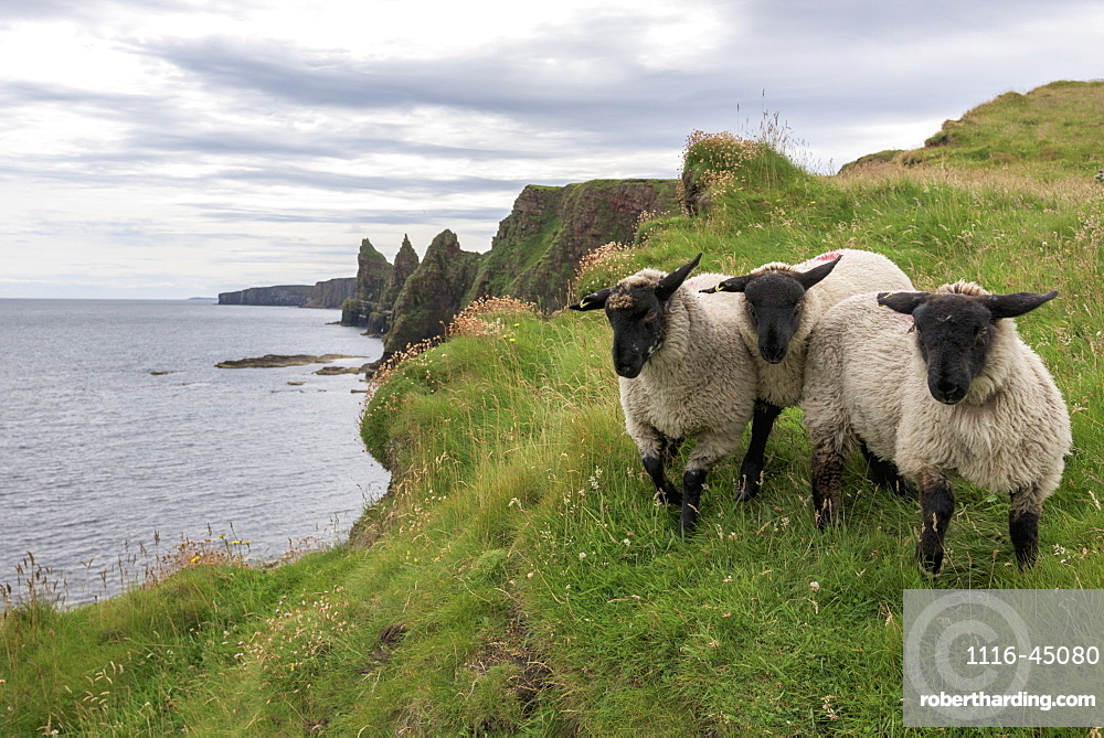 Sheep Standing On The Grass On The Shore With A View Of The Coastline, John O'groats, Highlands, Scotland