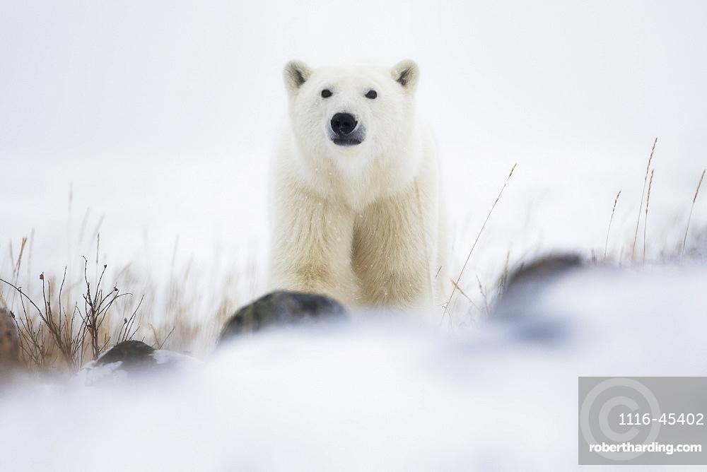 Polar Bear (Ursus Maritimus) In A Blizzard, Churchill, Manitoba, Canada