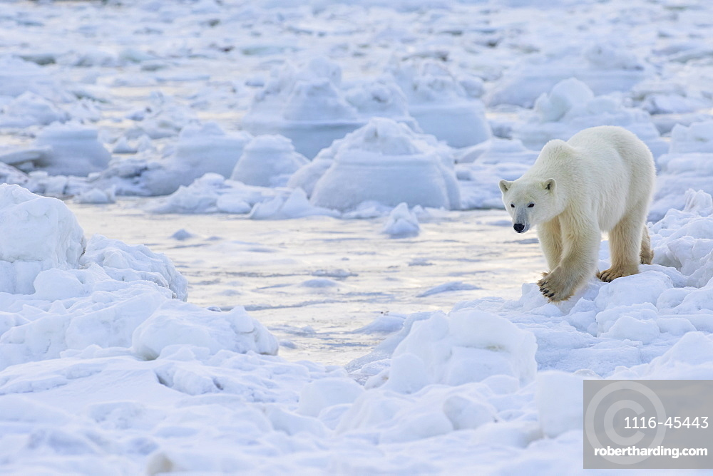 Polar Bear (Ursus Maritimus) Along The Hudson Bay Coast Waiting For The Bay To Freeze Over, Manitoba, Canada