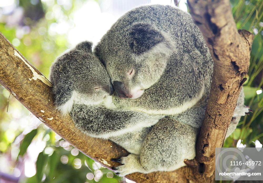 Mother And Baby Koala Bears (Phascolarctos Cinereus) Cuddled Up In A Tree, Noosa, Queensland, Australia