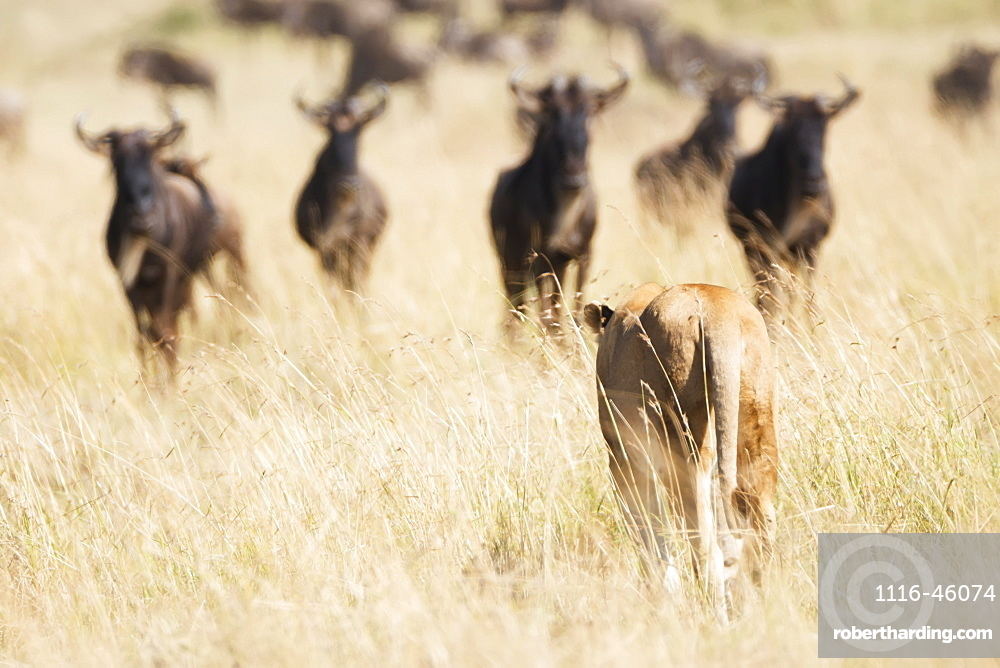 A Lioness (Panthera Leo) Seen From Behind Confronts A Group Of Wildebeest On The African Savannah, The Five Wildebeest Stand Looking At Her Warily, Narok, Kenya