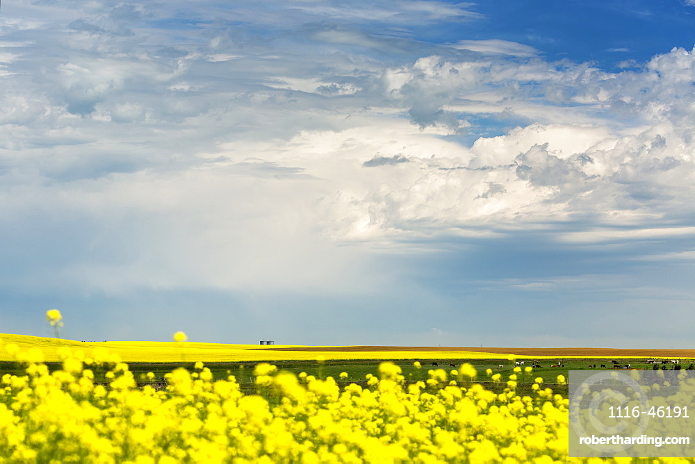 Flowering Canola Field With Dark Storm Clouds And Cattle Grazing, Nanton, Alberta, Canada