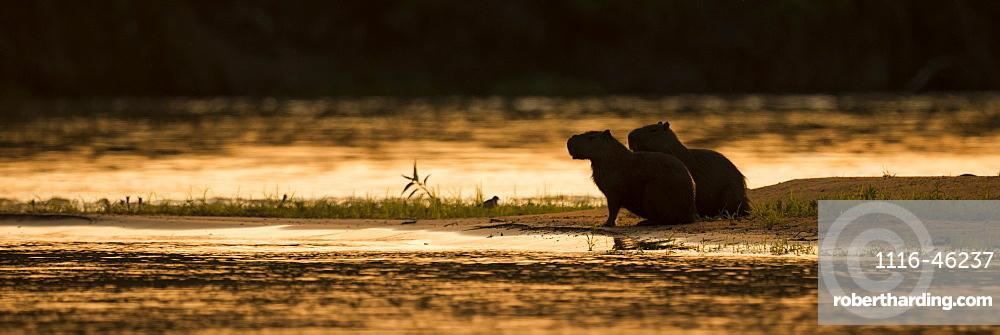 Two Capybara (Hydrochoerus Hydrochaeris) Sitting By River At Sunset, Mato Grosso Do Sul, Brazilnone