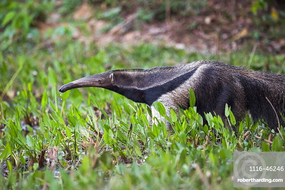 Giant Anteater (Myrmecophaga Tridactyla) Drinking From Pond With Lilies, Mato Grosso Do Sul, Brazil