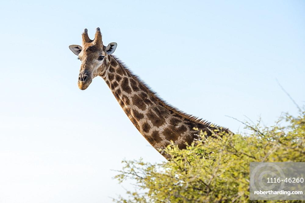 Close Up View Of Namibian Giraffe (Giraffa Giraffa Angolensis) Head Rising Above Green Tree Top At Savanna Woodlands Of Etosha National Park, Namibia