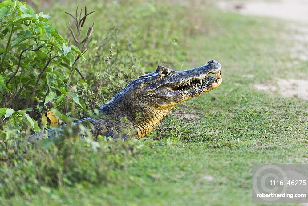 Close Up Of Yacare Caiman (Caiman Yacare) Eating Small Fish, Mato Grosso Do Sul, Brazil