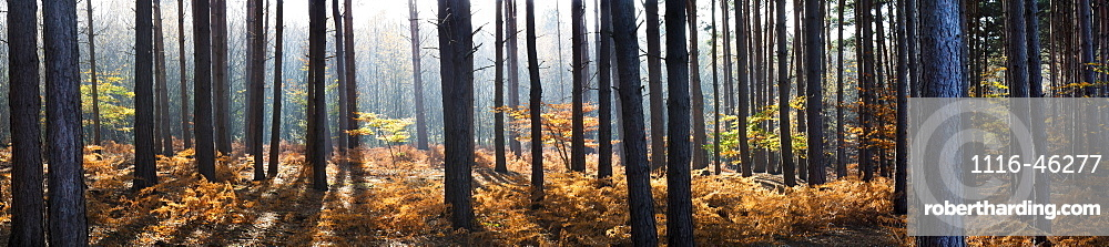 Panorama Of Pine Trees In A Forest, Surrey, England