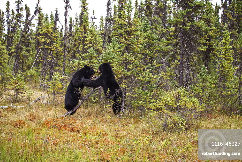 Two Black Bears In A Forest In Summer, Southcentral Alaska, USA