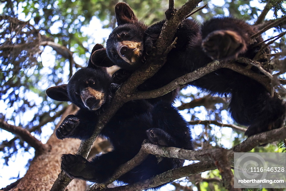 Black Bear (Ursus Americanus) Cubs Resting On The Tree Branches, South-Central Alaska, Alaska, United States Of America