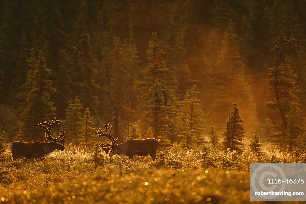 Bull Caribou (Rangifer Tarandus Caribou) Feed In A Spruce Bog Near Wonder Lake, Denali National Park And Preserve, Alaska, United States Of America