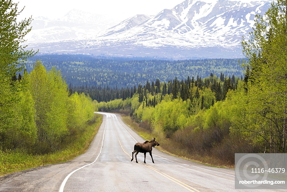 A Cow Moose (Alces Alces) Crosses The Parks Highway North Of Willow, With A Snow Covered Mountain In The Background, Central Alaska, Alaska, United States Of America