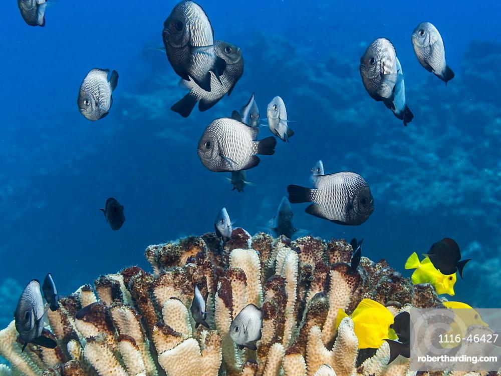 A School Of Hawaiian Dascyllus (Dascyllus Albisella), A Hawaiian Endemic Fish, Over A Bleached Antler Coral (Pocillopora Eydouxi) Off The Kona Coast, Kona, Island Of Hawaii, Hawaii, United States Of America