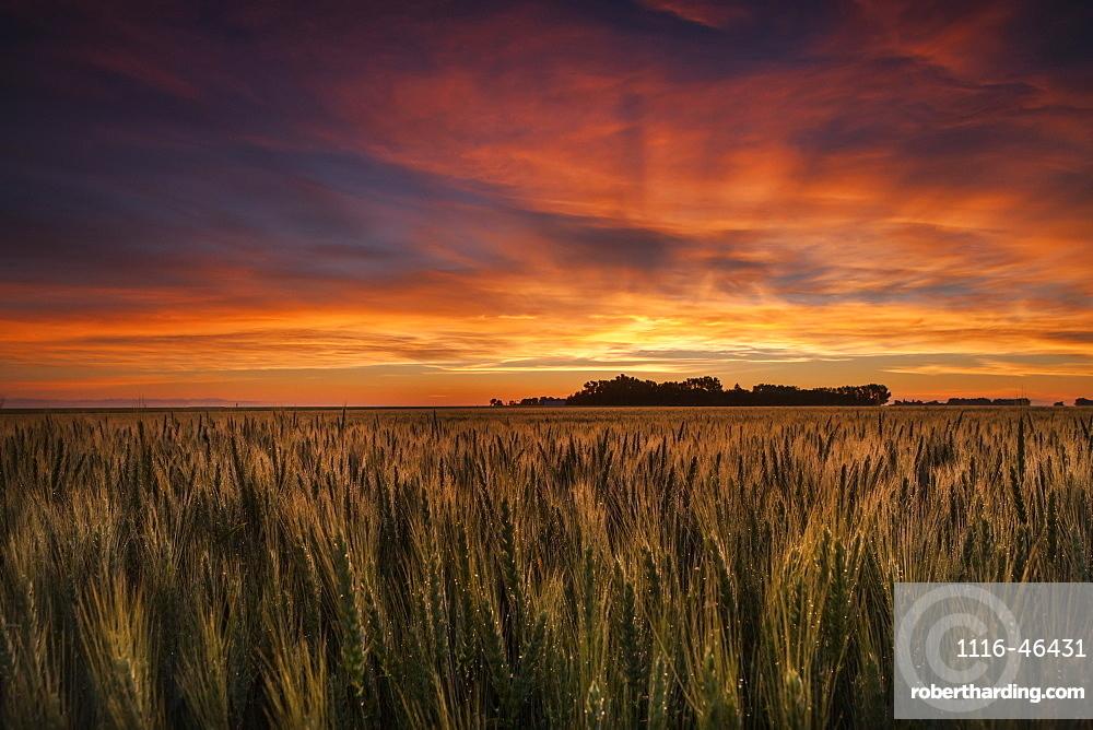 Colourful Sky At Sunrise Over A Wheat Field, Saskatchewan, Canada