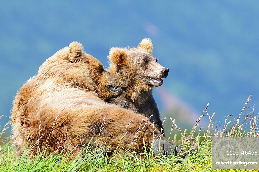 Brown Bear (Ursus Arctos) And Cub, Katmai National Park, Alaska, United States Of America