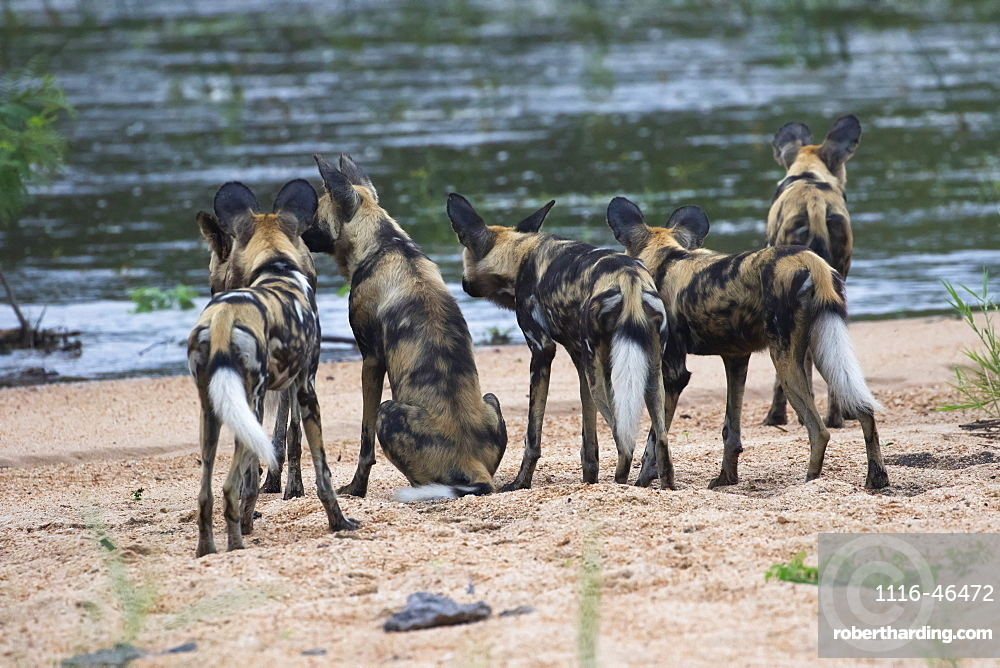 A Pack Of Cape Hunting Dogs (Lycaon Pictus) Looking To Cross A River, South Africa