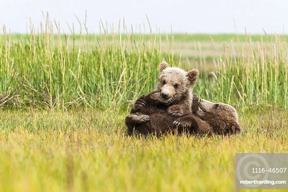 Brown Bear (Ursus Arctos) Cubs Playing In A Grass Field