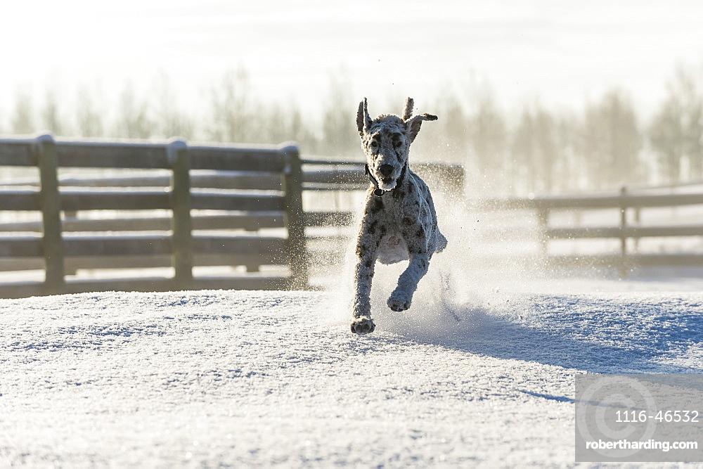 Dog Running In The Snow, Cremona, Alberta, Canada