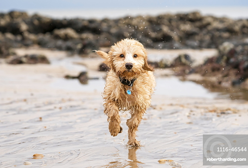 A Wet Cockapoo Runs Through The Water On A Beach, South Shields, Tyne And Wear, England