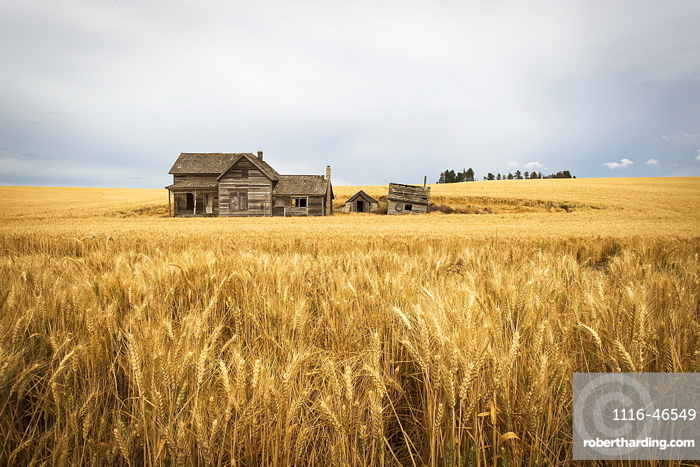 An Old Wooden Farmstead In A Wheat Field, Palouse, Washington, United States Of America