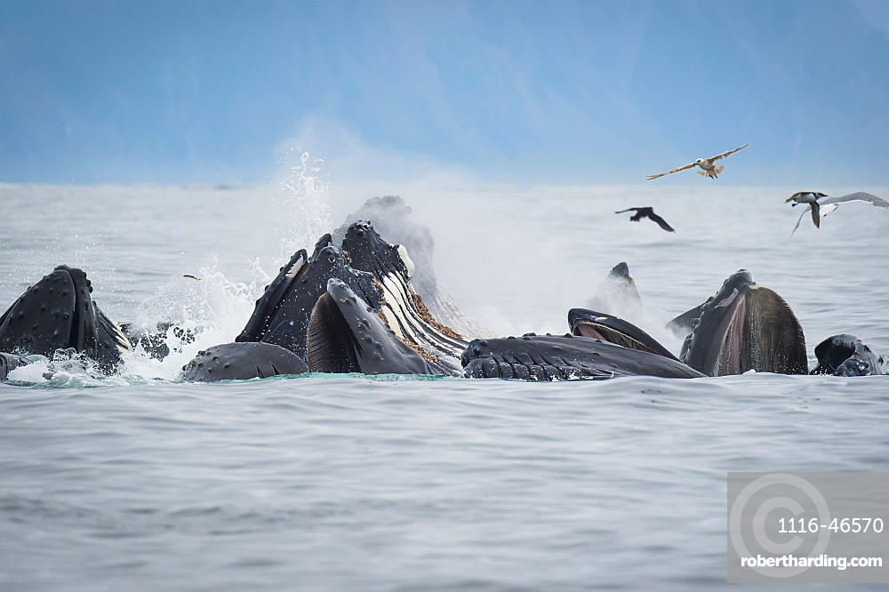 Humpback Whales (Megaptera Novaeangliae) Bubble Feeding In The Seward Harbour, Seward, Alaska, United States Of America