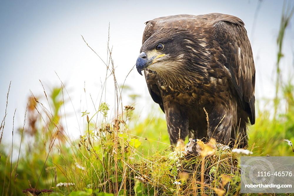 Juvenile Eagle, Geographical Bay, Alaska, United States Of America