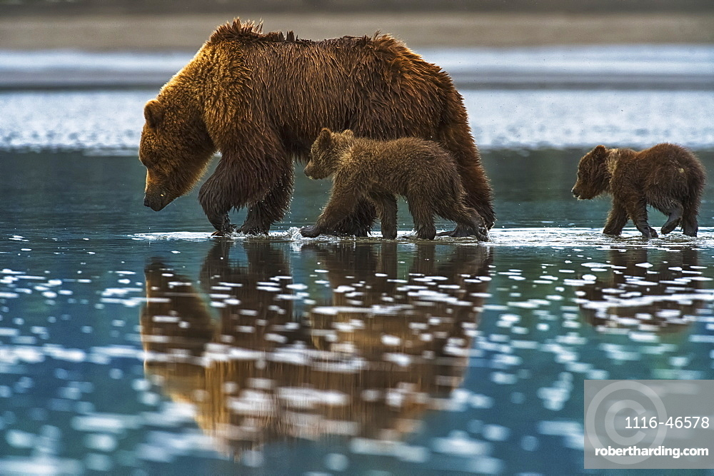 Brown Bear (Ursus Arctos) Walks In The Shallow Water With It's Cubs Following, Lake Clark National Park, Alaska, United States Of America