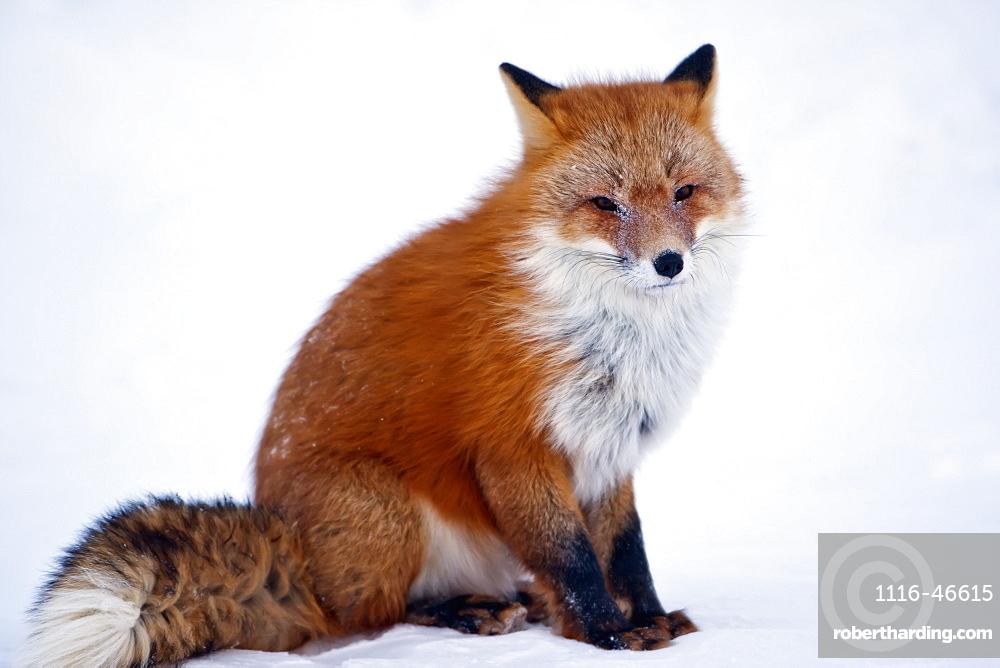 Red Fox (Vulpes Vulpes) Sitting On Snow On Arctic Tundra In Winter, Arctic Coastal Plain, North Slope, Northern Alaska, Alaska, United States Of America