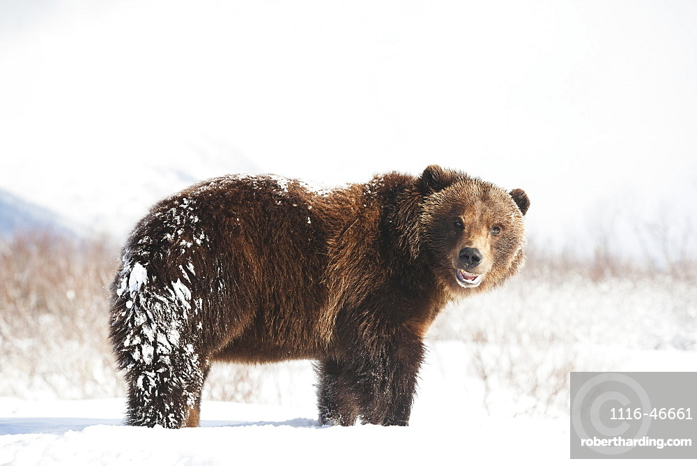 Captive Brown Bear (Ursus Arctos) Playing In The Snow At The Alaska Wildlife Conservation Center In Winter, Portage, Alaska, United States Of America