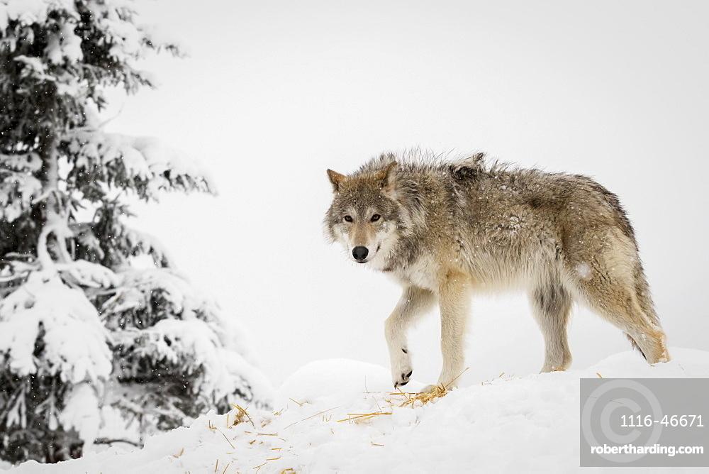 Captive: Adult Female Tundra Wolf In Winter, Alaska Wildlife Conservation Center, Southcentral Alaska