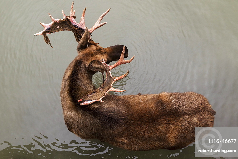 Bull Moose (Alces Alces), Captive, Alaska Wildlife Conservation Centre, Portage, Alaska, United States Of America