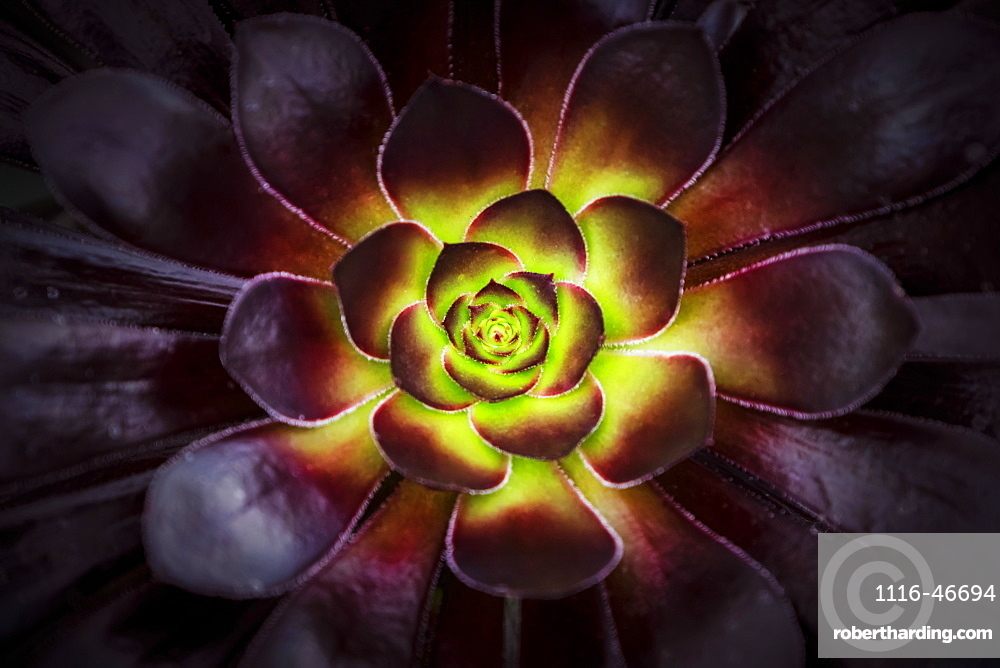 Purple And Green Aeonium, Dublin Botanic Garden, Dublin, Leister, Ireland