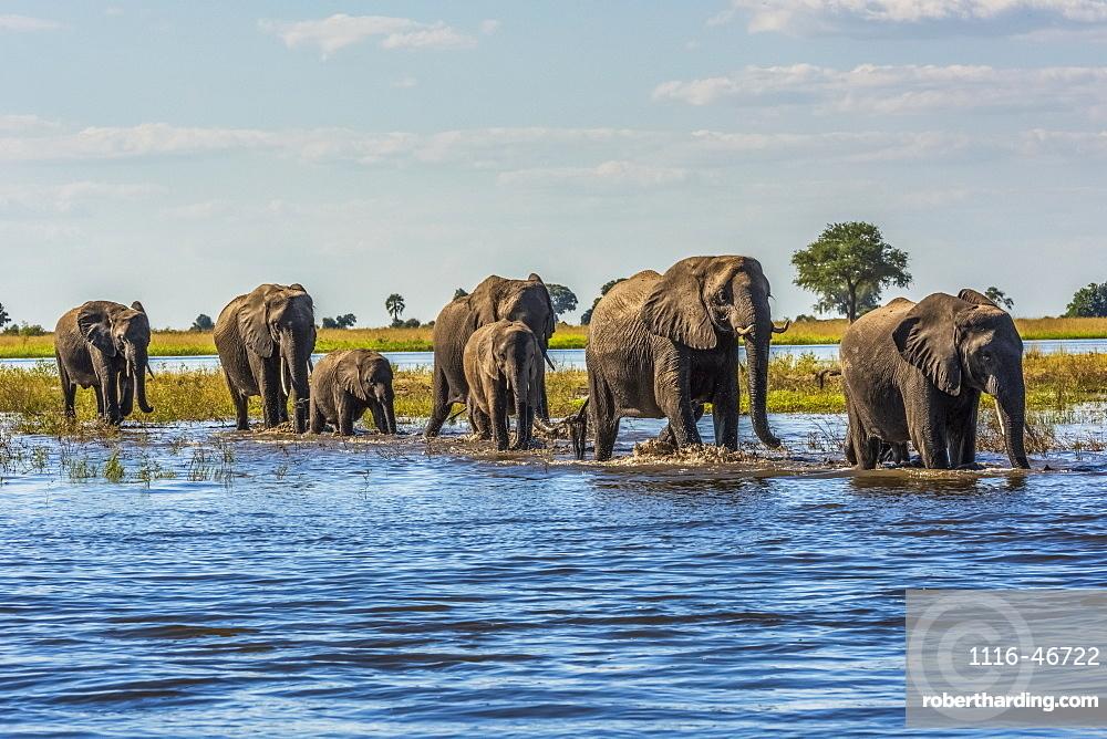 Line Of Elephants (Loxodonta Africana) Crossing River In Sunshine, Botswana