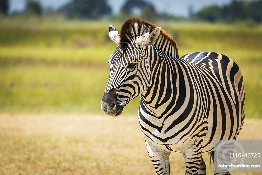 Close Up Of Burchell's Zebra (Equus Quagga Burchellii) On Grassy Plain, Botswana